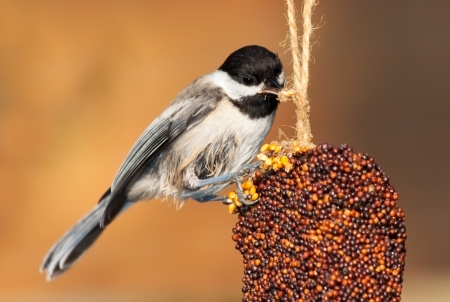 capped: While perched, a chickadee pecks at the rope of an ornamental bell-shaped mold of nuts and seeds