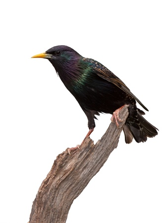 A dazzling European Starling bird photo
