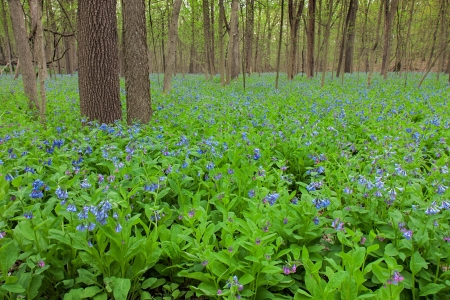 Several prominent trees fill the foreground as a carpet of bluebells covers the forest floor  The pastel colors of the spring ephemeral plant are a striking contrast to the brown tones of the forest tree  Фото со стока