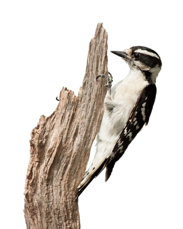 songbird: A downy woodpecker as it pecks at a piece of wood  She uses her talons to hold the branch and her tail to provide balance  A complete profile the bird displaying her black and white wing feathers and chisel-like bill  White background