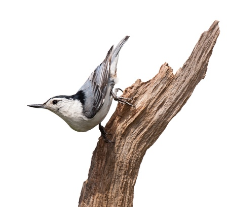 struts: A white-breasted nuthatch struts down a piece of driftwood  The multi colored blue wing feathers,  with dashes of orange standout against its white breastplate  White background