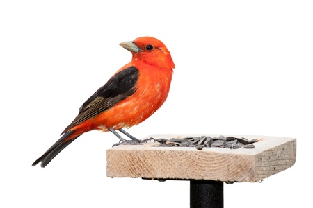 black plumage: A scarlet tanager sits on top of a sunflower seed feeder   The tanager's brilliant red plumage contrasts against its midnight black wings  The songbird is positioned with its turned ninety degrees opposite its body  White background  Stock Photo