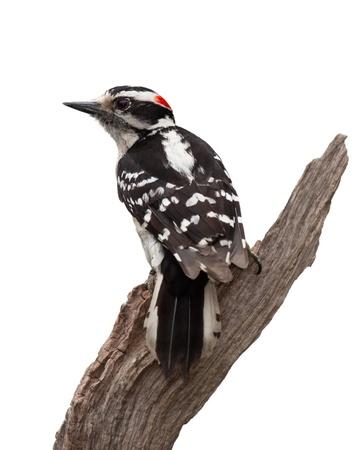 Een wijze oude specht vormt een V-vorm, terwijl vasthouden aan een stuk drijfhout Zijn zwart-wit terug veren, een prominente scheutje rode aan de achterzijde van zijn kroon en een beitel-achtige wetsvoorstel maakt het donzige specht makkelijk Witte achtergrond identificeren