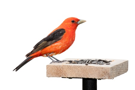 A scarlet tanager sits on top of a sunflower seed feeder   The tanager's brilliant red plumage contrasts against its midnight black wings  The songbird is positioned with its head toward the seed   White background