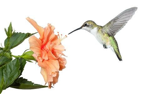 Con le sue ali si fermarono e congelati a mezz'aria, un rubino THROATED si libra sopra un fiorito pienamente ibisco in cerca di polline e nettare Fondo bianco