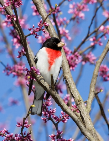 redbud tree: Rose-breasted grosbeak perches in a redbud tree   Stock Photo