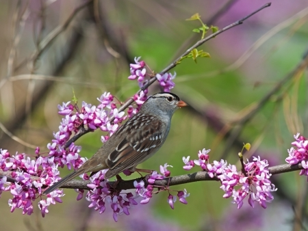 A white crowned sparrow perched on the pink buds of a redbud tree