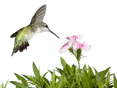 With its tail wide-open and feathers glowing in green iridescences', a hummingbird flies over the green leaves of several dianthus flowers into the pink and white petals of three prominent dianthus blooms. Banco de Imagens