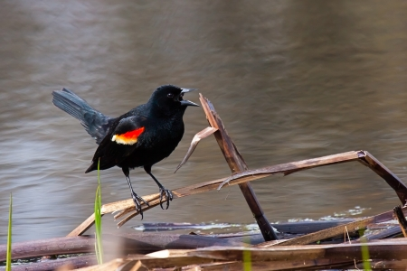 The red winged blackbird precariously balances itself on a fallen reed at the shore of a pond. Its bold orange and yellow wing feathers are prominently displayed as it screeches a warning song. Imagens