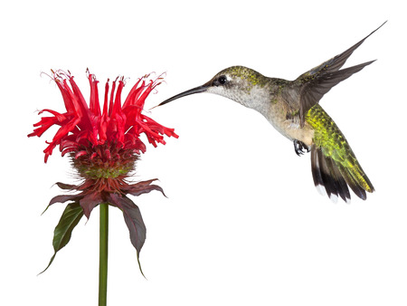 Hovering over a crown of red, a hummingbird shows delight over a solitary monarda flower. Tongue out lickng its beak, the tiny bird dives into the heavenly blossom. Stockfoto