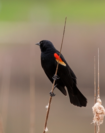blackbird: A red-winged blackbird poses on a solitary cattail reed. Stock Photo