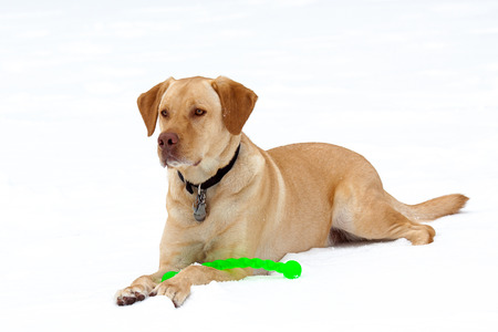A Labrador Retriever plays in the snow with a green toy at his feet. photo