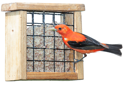 flamboyantly: A scarlet tanager eating at a suet feeder. This elusive songbird flamboyantly exhibits its vivid and brilliant reddish orange plumage. white background