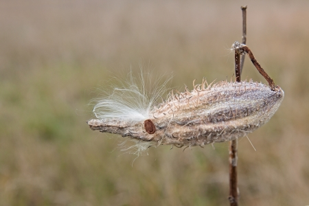 unopened: A solitary unopened milkweed pod stands alone in the prairie   Caught on its outer shell thorns are the white silky hairs of another milkweed flower's leathery seed