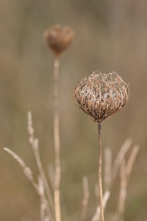 queen anne   s lace: To protect its seeds, a woody umbel of a queen anne's lace forms a nest around its drying fluffy embryos  The queen anne's lace is surrounded by orchard grass and another wild carrot in the open meadow