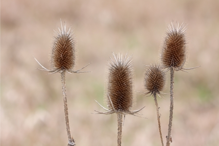 The soft glow of morning 's sunlight cannot diminish the menacing presence of four egg-shaped teasel flower heads  Their spiky bracts and prickly stems threaten to cause harm to any stray that might approach to close  Stock Photo