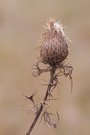 seeding: The now woody thorny spikes of a thistle flower wrap around its slender stem to help protect the seeding flower  The solitary flower, with it own spines, slowly releases its seeds to the open prairie  Stock Photo