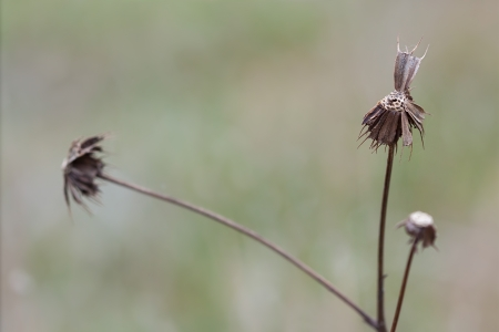 A lone bootjack cluster slowly dies of in the meadow  Its remaining handful of seeds wait for an un suspecting passer-by to carry them across the grassland  photo