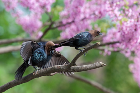 curtsy: a brown-headed cowbird in a pink redbud tree ignores another open winged genuflectng bird.