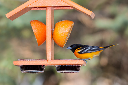 bird feeder: A baltimore oriole sits atop an orange colored feeder   Stock Photo