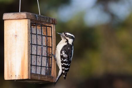 downy woodpecker: a downy woodpecker hangs from the cage of a suet feeder. Black eyes wide open, the bird looks at the peanut suet treat.