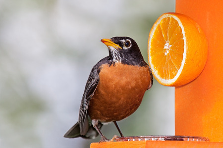 jelly head: Robin sits on an orange feeder next to a delicious orange. He tilts his head sideways enjoying a beak full of grape jelly.