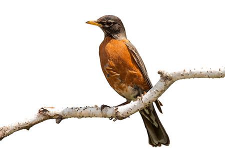 Fel oranje breasted robin neergestreken op een berk tak. Het pellen berk zorgt voor een zachte landing plek voor de vogel. Witte achtergrond.