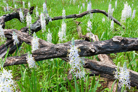 intersect: After a controlled burn, white and violet hyacinths bloom in a prairie.  Their sweet frangrance overpowers the charred logs what intersect the blossoms.