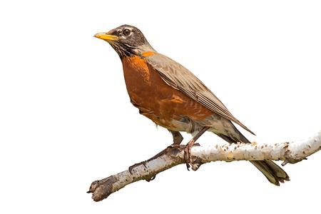 Profiel van een rooiboom met oranje borsttekening in de verte. De vogel zit aan het einde van een afbladderende berkentak. Witte achtergrond.