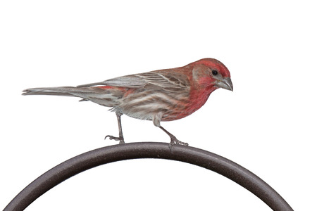 shepards: A house finch struts its red head and striped wings along the top arc of an iron shepards hook. white background