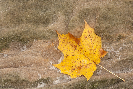 acer: Glistening like small diamonds, the loose grains of a sandstone boulder surround an autumn maple leaf as it changes colors from  yellow to brown.