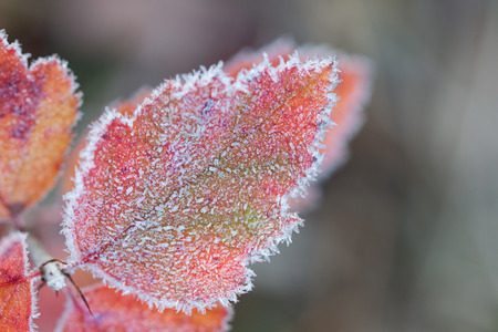 glisten: Beneath crystals of hoarfroast,  a leafs autumn colors glisten against the dulling forest.