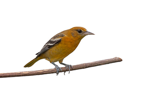 oriole: Female baltimore oriole perched on a branch, white background Stock Photo