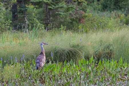 filled out: The noble sandhill crane; crimson capped, grayed bodied and rust colored rump feathers, stands out in a marsh filled along side the purple hues of pickerel weed flower.