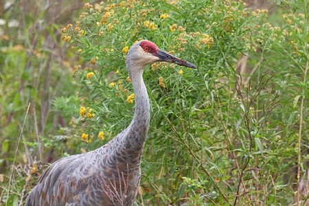 sandhill crane: The head and torso of a sandhill crane  peering out of a meadow of prairie grass, ironweed and goldenrod.