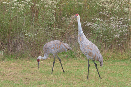 giant sunflower: Two sandhill cranes walk in a meadow filled with prairie grass and gone to seed ironweed and goldenrod. One crane stands upright the other bends to feed on the grasses. Stock Photo
