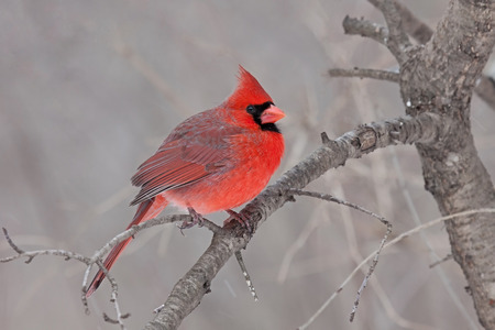 Perched on a branch, a male cardinal fluffs its soft downy feathers helping it tolerate a cold spring day. In a tannish brown forest, this bright red bird catches one's eye.