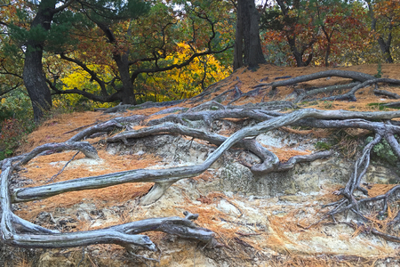 Colorful autumn trees stand guard behind  the exposed roots at Starved Rock State Park. The deteriorating sandstone can not hid the roots anymore. They intertwine with each other in a supernatural dance above the ground. Stock Photo
