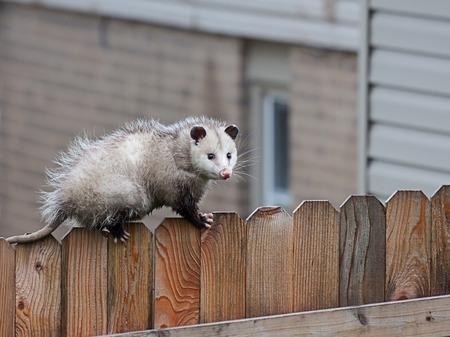 Met precisiebalans gebruikt een opossum scherpe klauwen en stekelige staart om over de bovenkant van een paal hek te navigeren. Stockfoto
