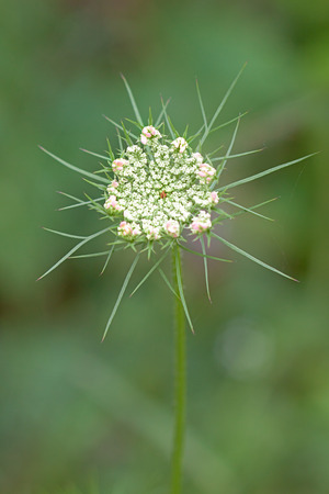 Pink petals surround the  tiny lace like flowers of a Queen Annes Lace. Hidden in the center of the flat-topped umbel, a solitary purple flower blossoms.