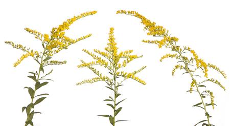 3 人の王のようなこれらの活気に満ちた色 goldenrood 花は白地に一緒に立っています。