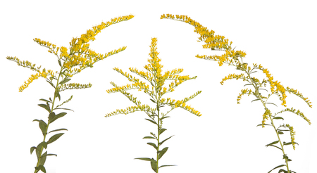 Like three kings, these vibrant colored goldenrood flowers stand together on a white background.