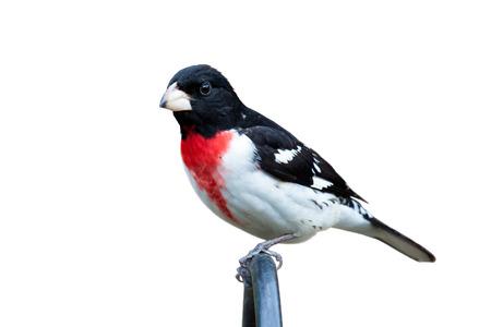 자리 잡은 로즈 브레스트 고등어가 거리를 응시합니다. 새의 깃털은 밝은 빨강, 흑색 및 흰색이 눈에 띄게 폭발했다. 흰색 배경. 스톡 콘텐츠