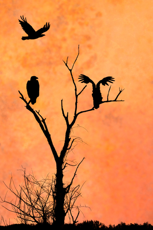 The silhouettes of three eagles in front of an artistic orange evening sky. Two eagles are perched in the tree while the third soars above the others. The lone leafless tree silhouette stands out above the prairie grasses. Фото со стока