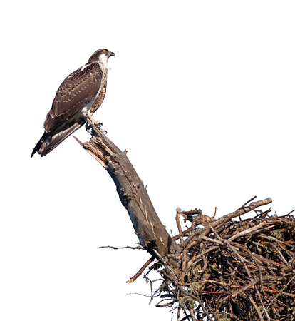 An osprey clutches to a branch while protecting its nest. On a white background.
