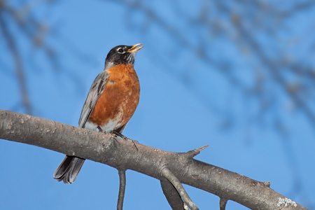 With its bright orange plumage in full display, a robin sings its cheerful song.  A bright blue sky and out of focus trees frame this beautiful bird.