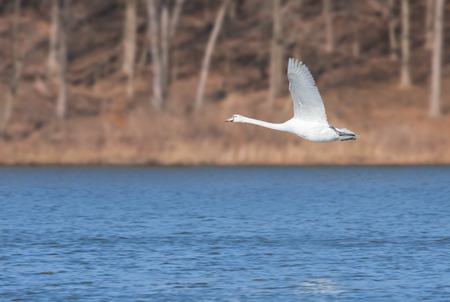 In the early morning a mute swan glides across a deep blue lake. Wings opened, feet up, neck stretched out, the swan soars just above the water. Imagens
