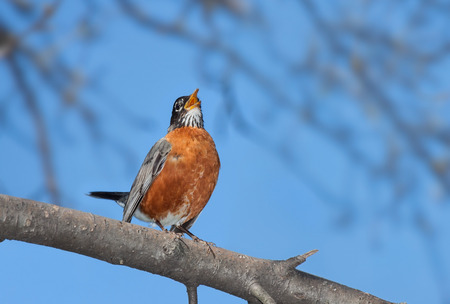 With its bright orange plumage in full display, tail up and beak wide open, a robin sings it cheerful song.  A bright blue sky and out of focus trees make for a serene background for this chirping bird.
