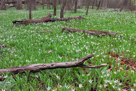 A large colony of white trout lilies spreads through fallen charred logs of  the forest floor. In early springtime, trout lilies are one of the first wildflowers to announce the rebirth of the woodlands. Stock Photo