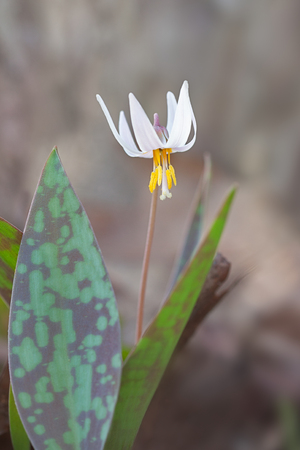 A white trout lily surrounded by its protecting speckled green leaves. The brilliant white petals rise up to reveal it showy pistil and stamen.
